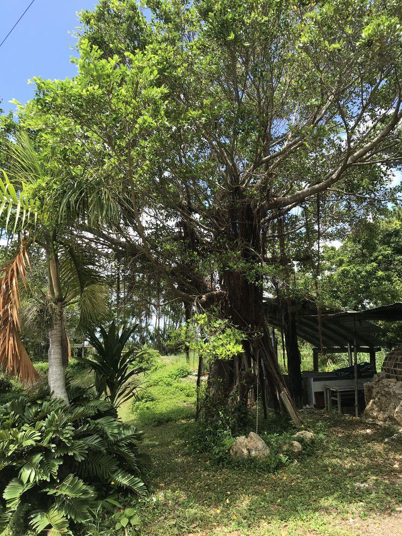 真栄田:かじゅまるの木